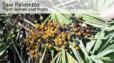 Saw Palmetto Plant Leaves Fruits Picture